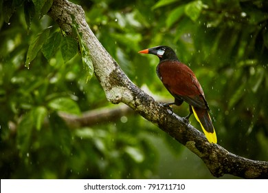 Montezuma Oropendola, Psarocolius montezuma, exotic bird from Costa Rica, brown with black head and orange bill, green background. Wildlife scene from nature.