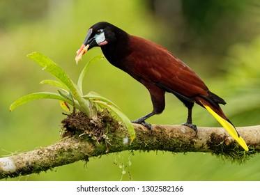 Montezuma Oropendola - Psarocolius montezuma  New World tropical icterid bird. It is in the Caribbean coastal lowlands, Mexico, Panama, Nicaragua, Honduras, Costa Rica