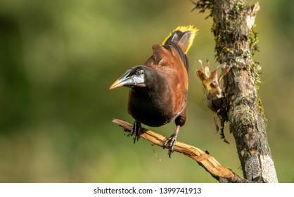 Montezuma Oropendola (Psarocolius montezuma) a Wonderfull bird of Costa Rica