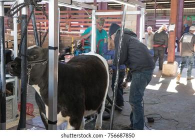 Montgomery, Alabama, USA- October 29, 2017: A boy prepares his show heifer for the show ring at the Alabama National Fair.
