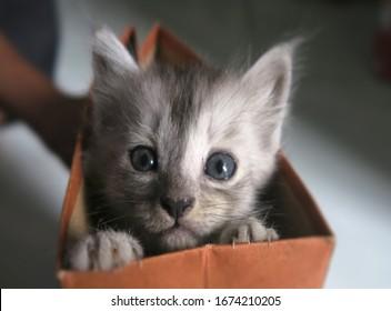A month old mix dome kittens, anak kucing kampung and Anggora cat