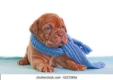A month old puppy of dogue de bordeaux with a shawl looking aside