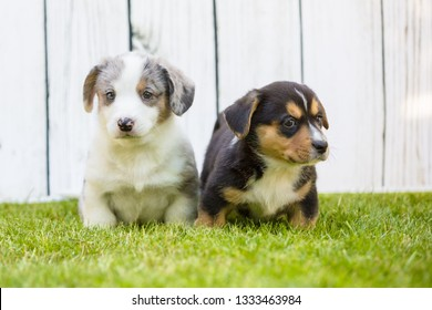 Monthly puppies of a corgi sit and lie on a lawn against a background of a white wooden fence
