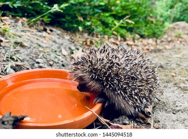 Month-old baby hedgehog sipping on some  fresh water