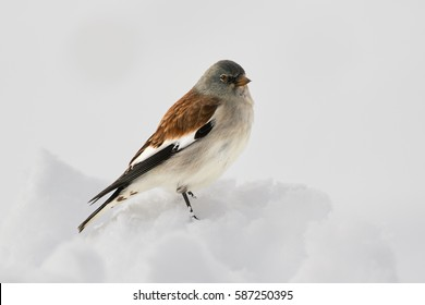 Montifringilla nivalis, white-winged snowfinch, small,high mountainous passerine. Close up photo. Bird on snow. Dolomites wildlife. Italy