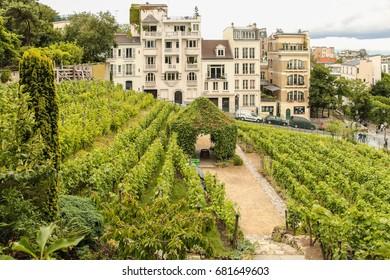 Montmartre vineyard, Paris, France, 2013 July 3