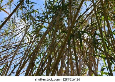 Monton of reeds