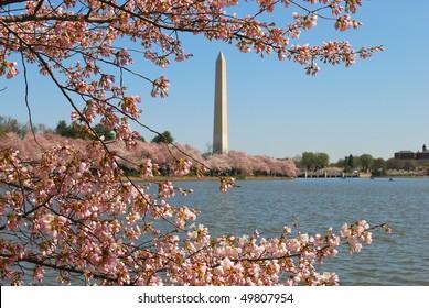 Monument of Washington during cherry blossom