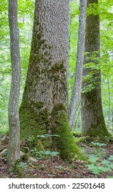 Monumental maple trees and oak in background in summer Bialowieza Forest