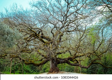 """The monumental oak """"of witches"""" in Capannori Tuscany - Italy."""
