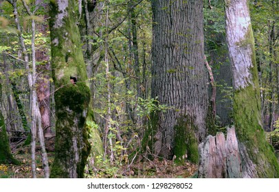 Monumental ok tree in autumn forestt, Bialowieza Forest, Poland, Europe