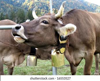 Moo of a cow - Cattle fair
