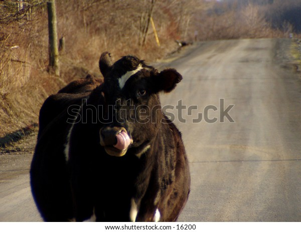 A moo cow stood in the road, blocking our path.  What's a photographer to do?  So I shot him!