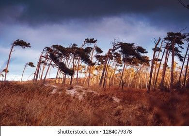 Moody dark pine trees shaped by the wind and stormy on the beach dunes at the coastline forest of the Weststrand. German Baltic Sea Darßer Ort, Weststrand coastline at Fischland-Darss-Zingst