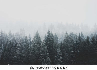 Moody mountain forest trees at early morning with fog. Wood winter conifer trees. Nature mood landscape