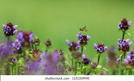 Moody photo. A syrphid hovering above a blooming meadow full of prunellas on a neutral green background. Hoverfly and Common self-heal, Syrphydae, Prunella vulgaris.
