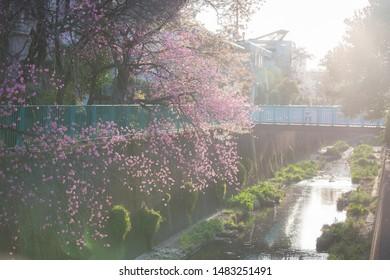 Moody Sakura Cherry Blossoms in Japan