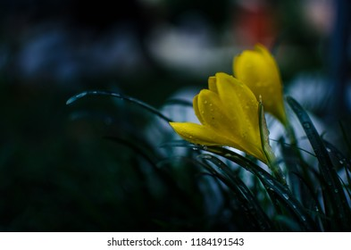 Moody yellow flower with raindrops