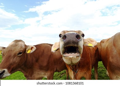 A mooing cow. Funny cow photo with open mouth