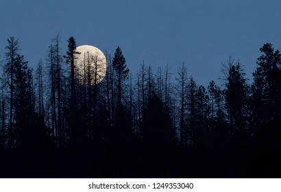 Moon appearing through the trees as it rises above the boreal forest in the Pacific Northwest - NOT photoshopped