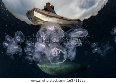 Moon jellyfish (Aurelia aurita) aggregate in an ocean gyre in eastern Indonesia. This species of jellyfish is found throughout most of the world's oceans.