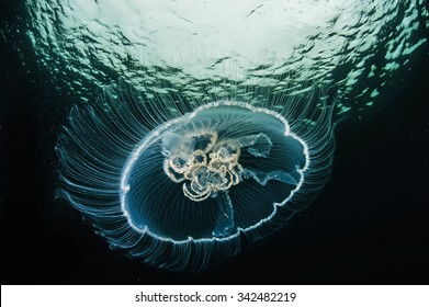 Moon jellyfish, Aurelia aurita, transparent underwater creature in sea. Actual under water Photo. 40 meters depth. Japan sea, Far East