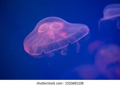 Moon jellyfish Aurelia aurita in the water. Aurelia aurita (also called the common jellyfish, moon jellyfish, moon jelly, or saucer jelly)