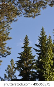 Moon on the sky over the evening taiga forest.