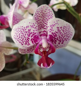 The Moon Orchid / Phalaenopsis amabils / 'Puspa Pesona' is one of Indonesia's national flowers. It was first discovered by a Dutch botanist, Dr. C.L. Blume. Anggrek bulan.