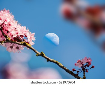Moon over cherry bloom in the blue sky