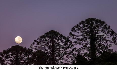 Moon rise through the bunya pines