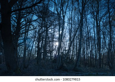 moonlight at night through a forest of tall thin bare dense silver birch trees