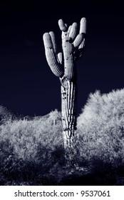 Moonlight Saguaro cactus in the winter Arizona desert mountains