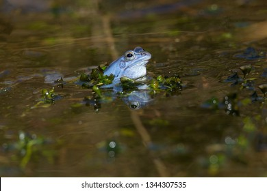 Moor Frog (Rana arvalis) on Egg Clumps at mating season in the small pond