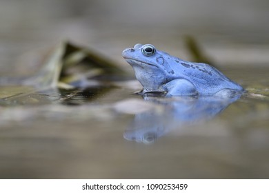 Moor frog in water