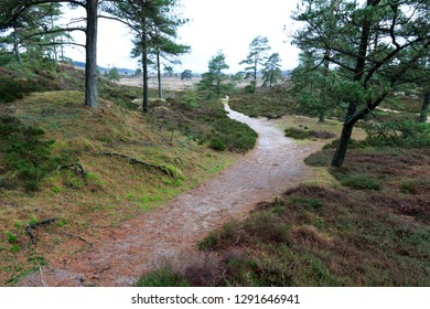 Moor landscape with heather and coniferous vegetation, Jutland, Denmark