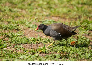 A Moorhen looking for food in the grass