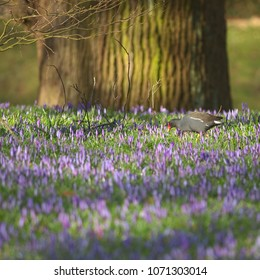 A moorhen is standing in the sunshine on the grass with flowering purple crocuses with an oak in the background