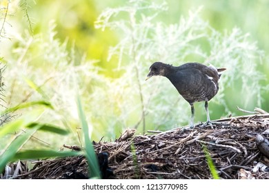 Moorhen wandering in the out skirts of Kabini forest, Karnataka, India.