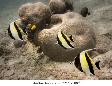 Moorish Idol Fish and Brain Coral