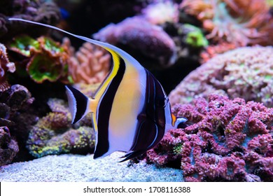 Moorish Idol (Zanclus cornutus) is popular to used as a pet in an aquarium.  selective focus and selective white balance