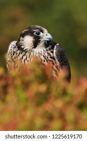 Moorland peregrine. A peregrine falcon is partially hidden by golden moorland vegetation.