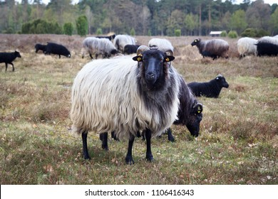 Moorland sheep Heidschnucke in Luneburg Heath near Undeloh and Wilsede, Germany
