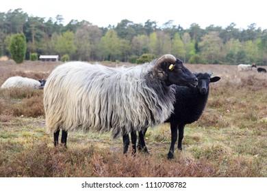 Moorland sheep Heidschnucke and young lamb in Luneburg Heath near Undeloh and Wilsede, Germany