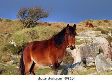 Moorland Views on Bodmin Moor Cornwall England Pony.