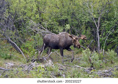 Moose in an Alaskan forest.