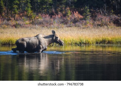 Moose in an Alaskan lake.