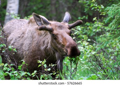 Moose in Alaskan Woods