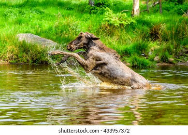 Moose (Alces alces). A bull is having a playful time splashing around in the forest lake.