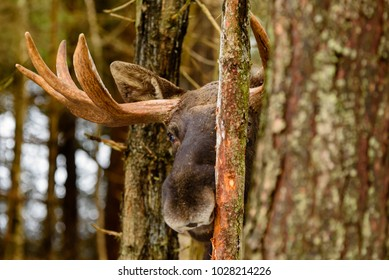 Moose (Alces alces) bull head behind tree trunk as if playing peekaboo. He is gnawing on the bark and scraping his antlers against the tree.